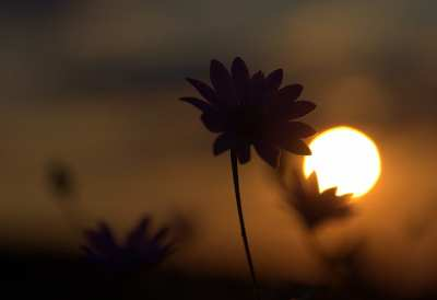 flowers-camp-sunset-in-the-evening-preview